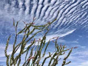 Ocotillo in front of clouds, photo by Martin Miranda De Jesus